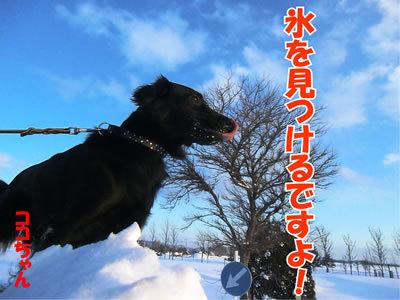 チャンスとティアラ+ココ-20120126-5.jpg