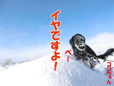 チャンスとティアラ+ココ-20120130-7.jpg