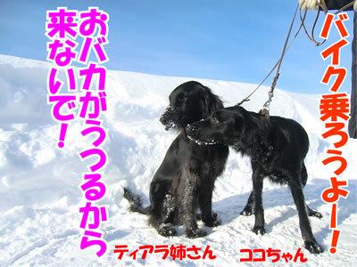 チャンスとティアラ+ココ-20120131-8.jpg