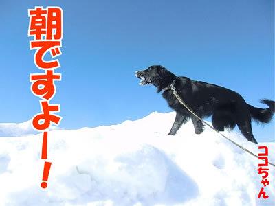 チャンスとティアラ+ココ-20120220-1-400.jpg