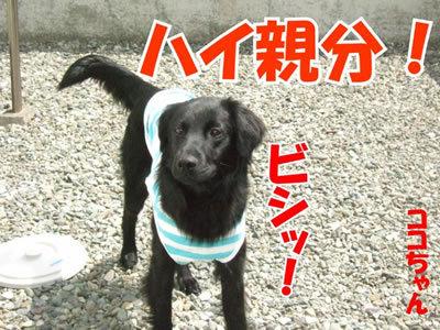 チャンスとティアラ+ココ-20100506-1-400.jpg