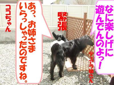 チャンスとティアラ+ココ-20100506-4-400.jpg