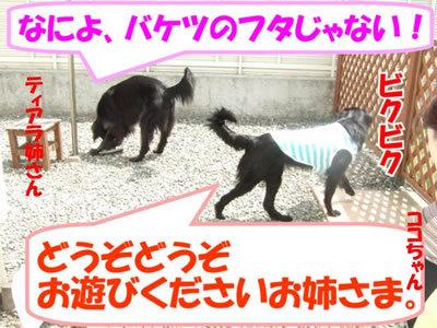 チャンスとティアラ+ココ-20100506-5-400.jpg