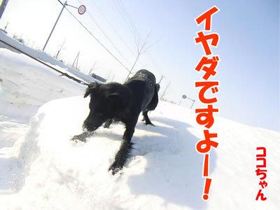 チャンスとティアラ+ココ-20120228-5-400.jpg