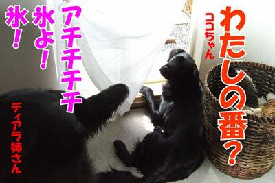 チャンスとティアラ+ココ-20100626-7.jpg
