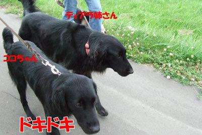 チャンスとティアラ+ココ-20100702-3.jpg