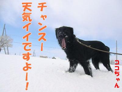 チャンスとティアラ+ココ-20120328-1-400.jpg