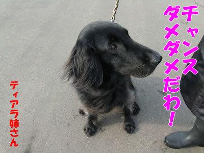 チャンスとティアラ+ココ-20120329-6-400.jpg