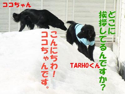 チャンスとティアラ+ココ-20120330-5-400.jpg