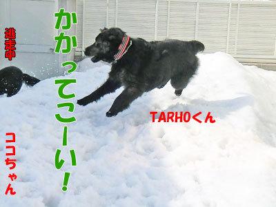 チャンスとティアラ+ココ-20120330-7-400.jpg