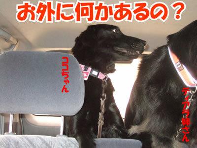 チャンスとティアラ+ココ-20100708-3.jpg