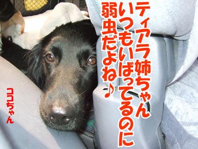 チャンスとティアラ+ココ-20100708-15.jpg