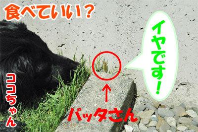 チャンスとティアラ+ココ-20100828-7-400.jpg