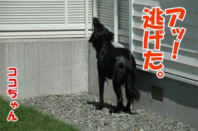 チャンスとティアラ+ココ-20100828-8-400.jpg
