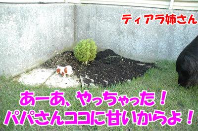 チャンスとティアラ+ココ-20100902-1-400.jpg