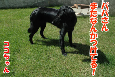 チャンスとティアラ+ココ-20100902-3-400.jpg