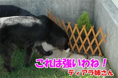 チャンスとティアラ+ココ-20100902-4-400.jpg