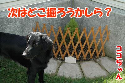 チャンスとティアラ+ココ-20100902-6-400.jpg