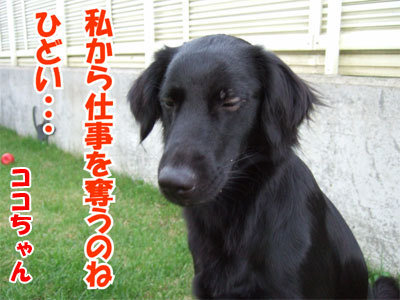 チャンスとティアラ+ココ-20100902-7-400.jpg