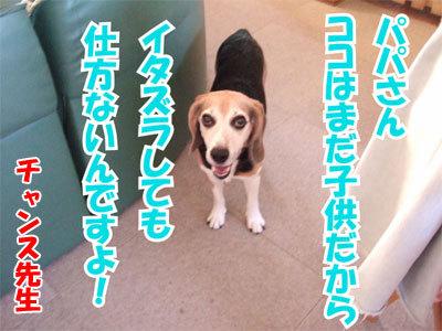チャンスとティアラ+ココ-20100902-8-400.jpg