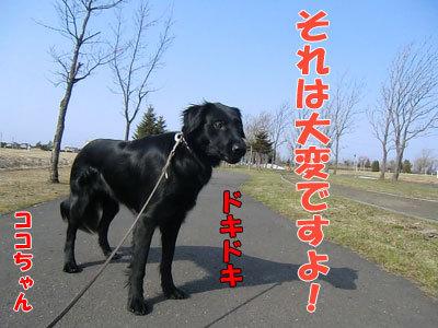 チャンスとティアラ+ココ-20120423-3-400.jpg