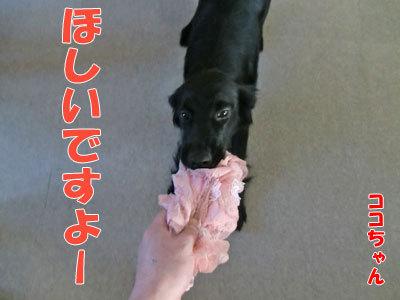 チャンスとティアラ+ココ-20120424-2-400.jpg