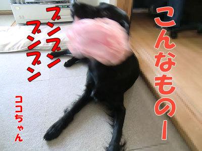 チャンスとティアラ+ココ-20120424-3-400.jpg