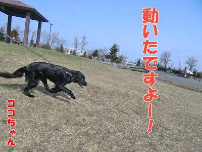 チャンスとティアラ+ココ-20120426-4-400.jpg