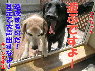 チャンスとティアラ+ココ-20120426-5-400.jpg