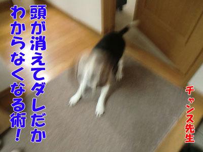チャンスとティアラ+ココ-20120427-5-400.jpg