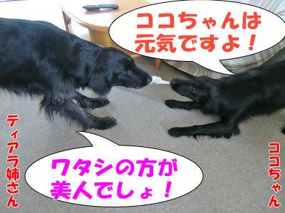チャンスとティアラ+ココ-20120427-7-400.jpg