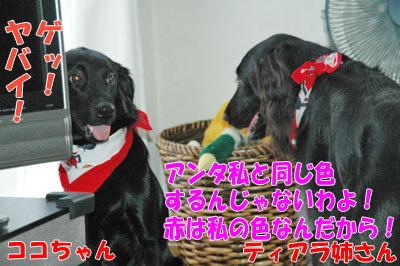 チャンスとティアラ+ココ-20100909-4-400.jpg