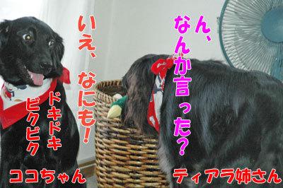 チャンスとティアラ+ココ-20100909-6-400.jpg