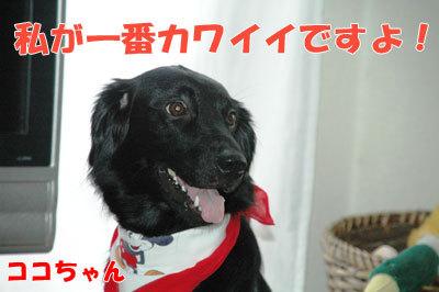 チャンスとティアラ+ココ-20100909-7-400.jpg