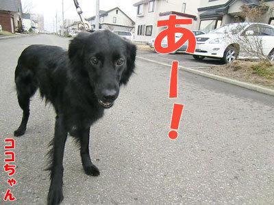 チャンスとティアラ+ココ-20120430-1-400.jpg
