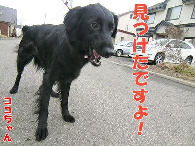 チャンスとティアラ+ココ-20120430-3-400.jpg