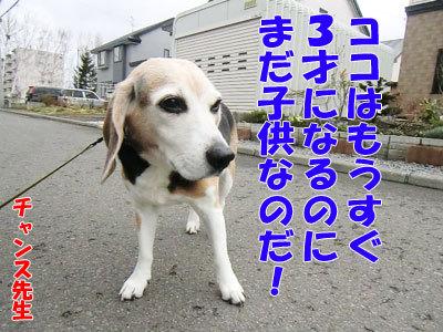 チャンスとティアラ+ココ-20120430-6-400.jpg