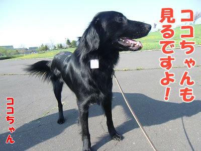チャンスとティアラ+ココ-20120522-4-400.jpg