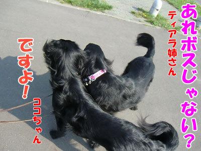 チャンスとティアラ+ココ-20120523-3-400.jpg