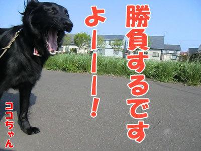 チャンスとティアラ+ココ-20120523-5-400.jpg