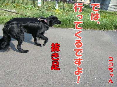チャンスとティアラ+ココ-20120523-6-400.jpg