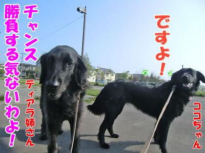チャンスとティアラ+ココ-20120523-8-400.jpg