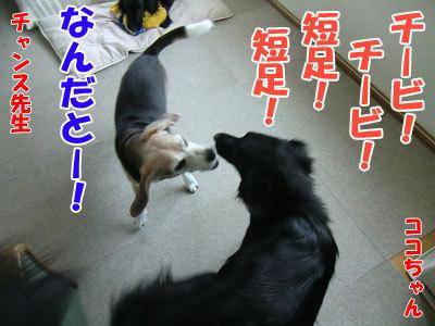 チャンスとティアラ+ココ-20120524-1-400.jpg