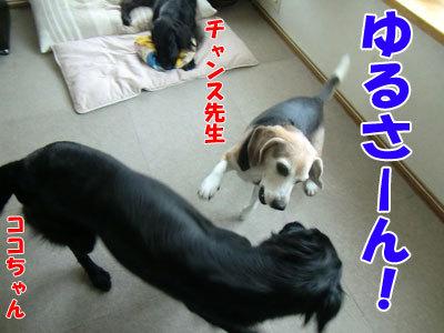 チャンスとティアラ+ココ-20120524-2-400.jpg