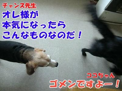 チャンスとティアラ+ココ-20120524-3-400.jpg
