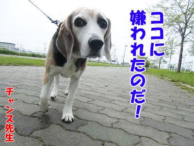 チャンスとティアラ+ココ-20120524-5-400.jpg
