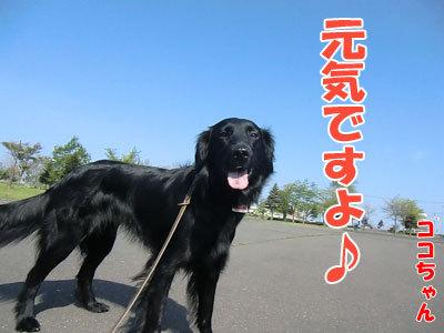 チャンスとティアラ+ココ-20120525-5-400.jpg