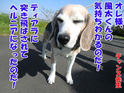 チャンスとティアラ+ココ-20120526-7-400.jpg