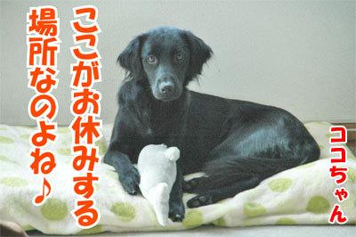 チャンスとティアラ+ココ-20101029-1-400.jpg