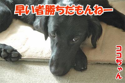 チャンスとティアラ+ココ-20101029-3-400.jpg